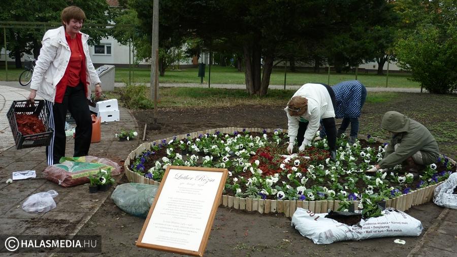 Luther rózsa a Semmelweis téren