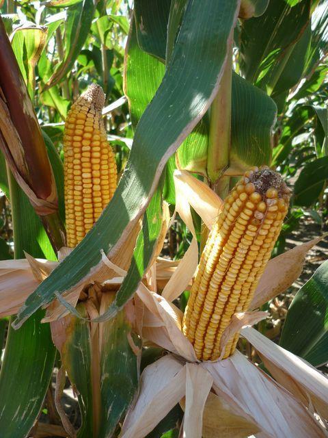 Fajtalista segítheti a kukoricásokat