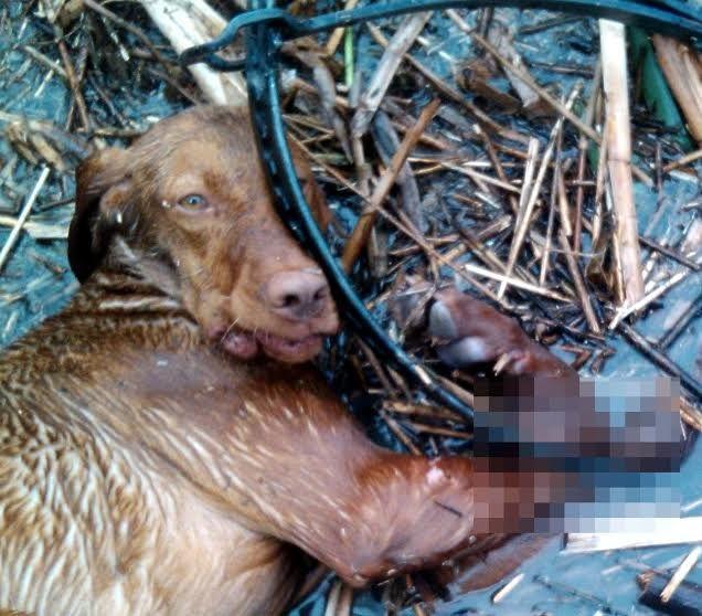 Ölőcsapdával fogták be a kutyát