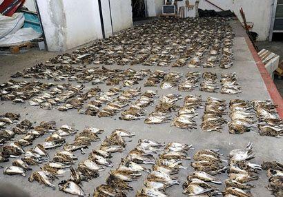 Több száz madarat mészároltak le olasz vadászok