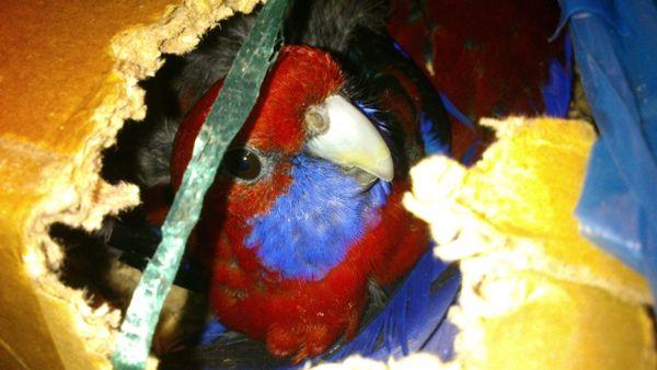 Papagájok buktatták le a madárcsempészeket