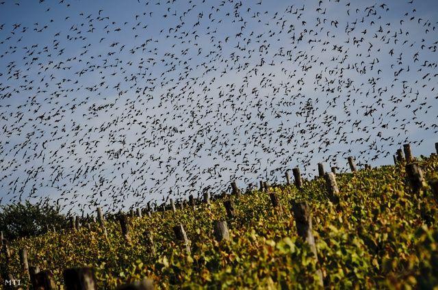 Seregélyinvázió a szőlőkben (videóval)