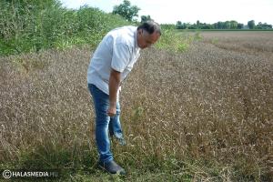 Félidőnél az aratás