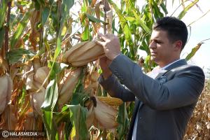 Betakarítás előtt a kukorica