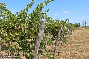 Bosszankodnak a szőlősgazdák