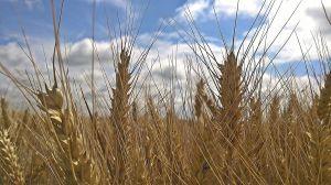 Nehezítheti az aratást a sok eső